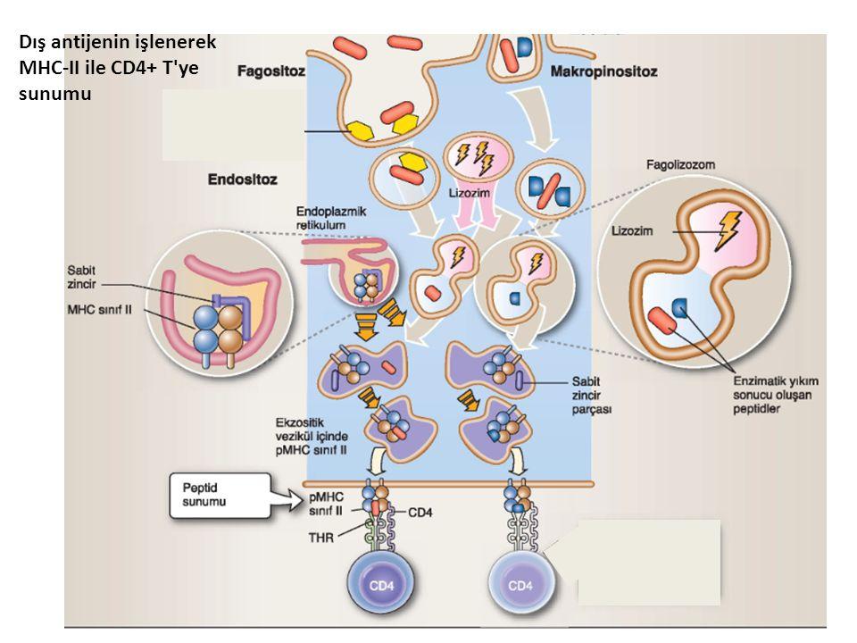 Dış antijenin işlenerek MHC-II ile CD4+ T ye sunumu