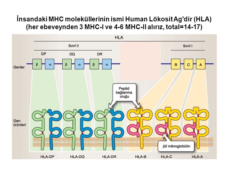 İnsandaki MHC moleküllerinin ismi Human Lökosit Ag dir (HLA) (her ebeveynden 3 MHC-I ve 4-6 MHC-II alırız, total=14-17)