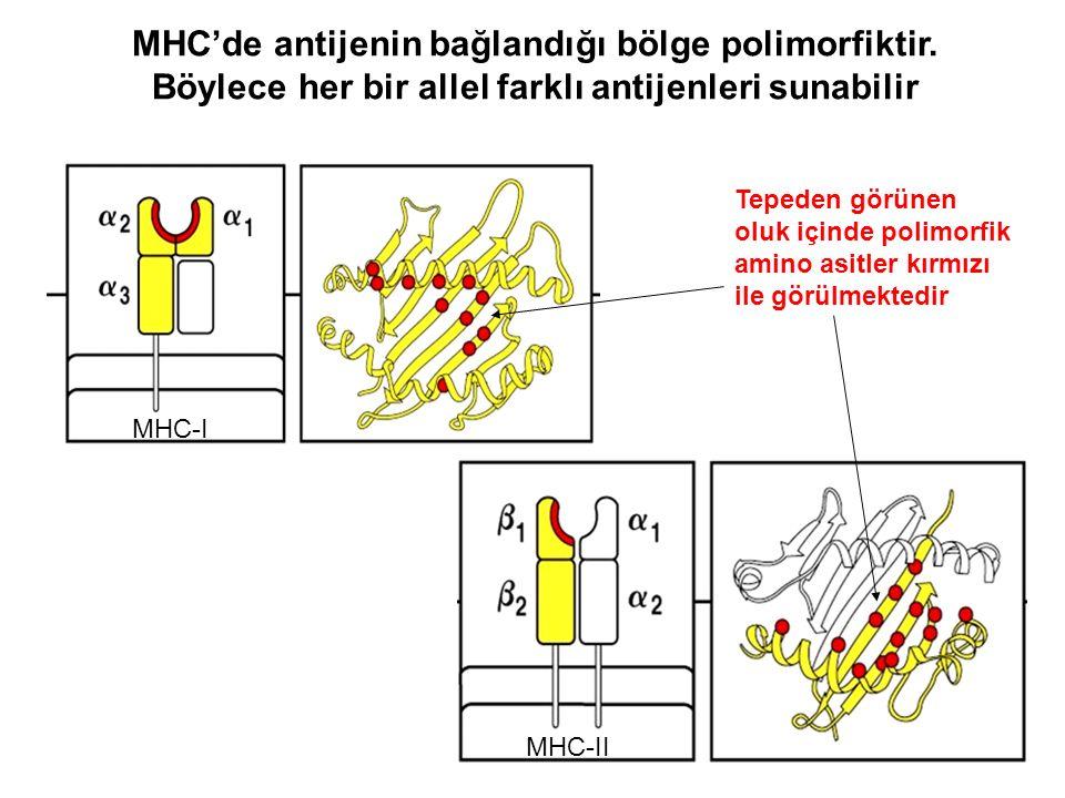 MHC'de antijenin bağlandığı bölge polimorfiktir. Böylece her bir allel farklı antijenleri sunabilir Tepeden görünen oluk içinde polimorfik amino asitl