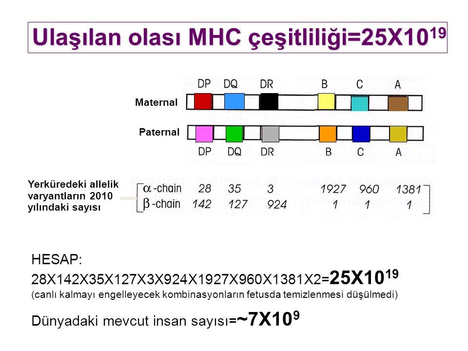 Maternal HESAP: 28X142X35X127X3X924X1927X960X1381X2= 25X10 19 (canlı kalmayı engelleyecek kombinasyonların fetusda temizlenmesi düşülmedi) Dünyadaki mevcut insan sayısı= ~7X10 9 Ulaşılan olası MHC çeşitliliği=25X10 19 Paternal Yerküredeki allelik varyantların 2010 yılındaki sayısı