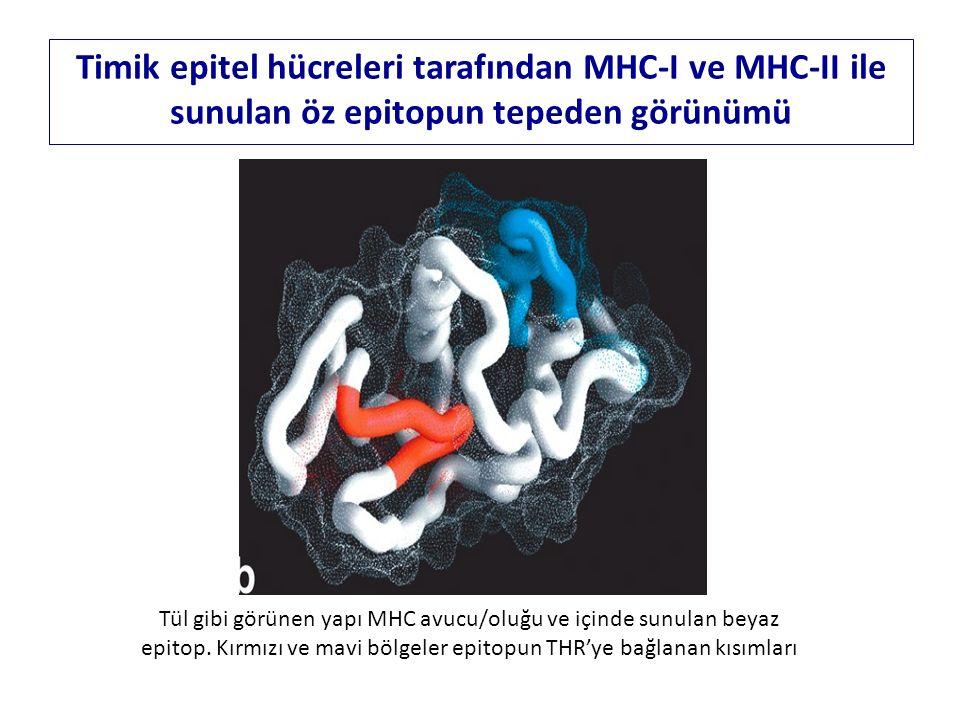Tül gibi görünen yapı MHC avucu/oluğu ve içinde sunulan beyaz epitop. Kırmızı ve mavi bölgeler epitopun THR'ye bağlanan kısımları Timik epitel hücrele
