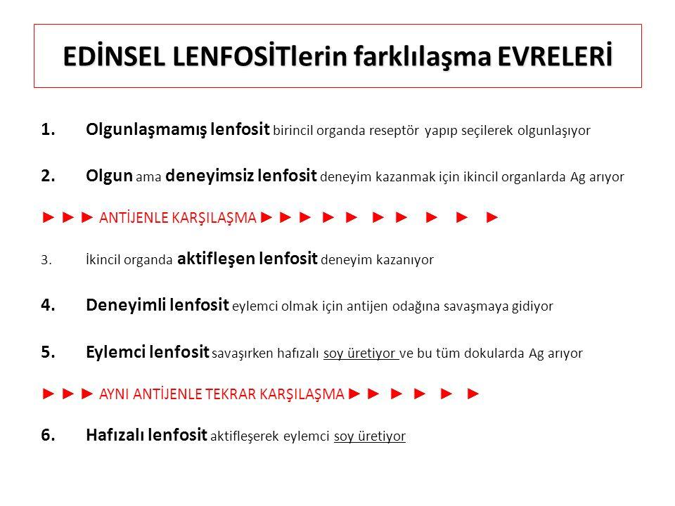 EDİNSEL LENFOSİTlerin farklılaşma EVRELERİ 1.Olgunlaşmamış lenfosit birincil organda reseptör yapıp seçilerek olgunlaşıyor 2.Olgun ama deneyimsiz lenf