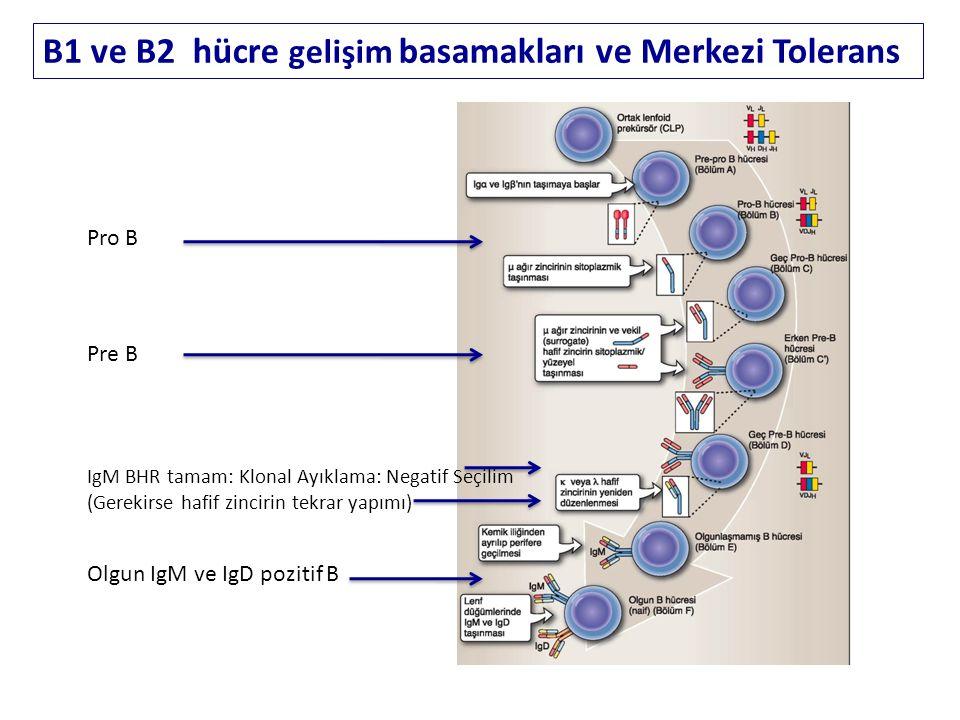 B1 ve B2 hücre gelişim basamakları ve Merkezi Tolerans Pro B Pre B IgM BHR tamam: Klonal Ayıklama: Negatif Seçilim (Gerekirse hafif zincirin tekrar yapımı) Olgun IgM ve IgD pozitif B