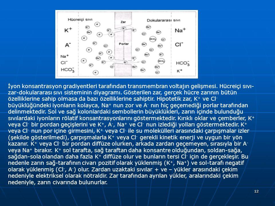 12 İyon konsantrasyon gradiyentleri tarafından transmembran voltajın gelişmesi. Hücreiçi sıvı- zar-dokulararası sıvı sisteminin diyagramı. Gösterilen
