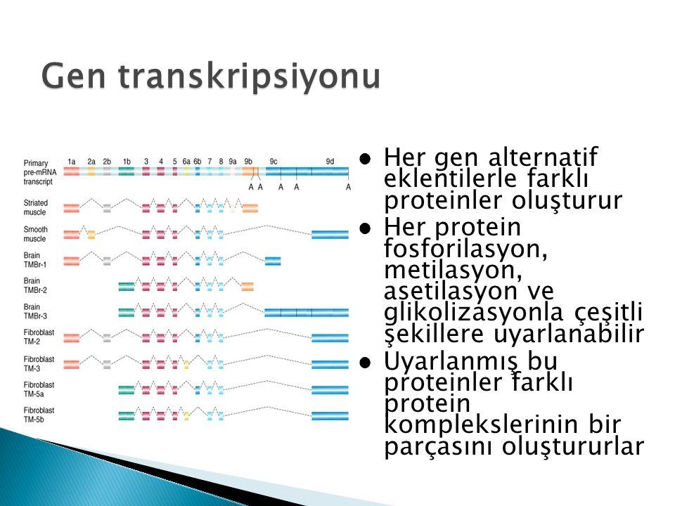 Her gen alternatif eklentilerle farklı proteinler oluşturur Her protein fosforilasyon, metilasyon, asetilasyon ve glikolizasyonla çeşitli şekillere uyarlanabilir Uyarlanmış bu proteinler farklı protein komplekslerinin bir parçasını oluştururlar Gen transkripsiyonu