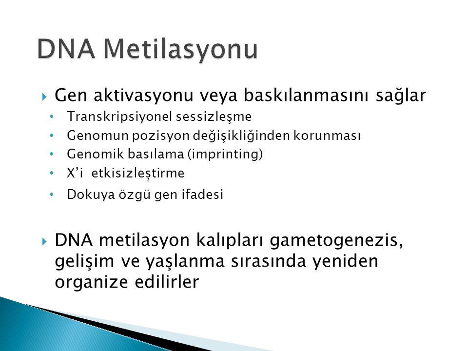  Gen aktivasyonu veya baskılanmasını sağlar Transkripsiyonel sessizleşme Genomun pozisyon değişikliğinden korunması Genomik basılama (imprinting) X'i etkisizleştirme Dokuya özgü gen ifadesi  DNA metilasyon kalıpları gametogenezis, gelişim ve yaşlanma sırasında yeniden organize edilirler