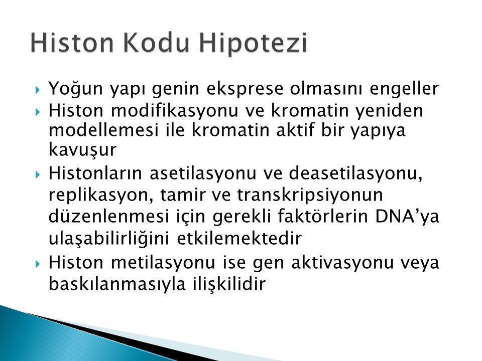  Yoğun yapı genin eksprese olmasını engeller  Histon modifikasyonu ve kromatin yeniden modellemesi ile kromatin aktif bir yapıya kavuşur  Histonların asetilasyonu ve deasetilasyonu, replikasyon, tamir ve transkripsiyonun düzenlenmesi için gerekli faktörlerin DNA'ya ulaşabilirliğini etkilemektedir  Histon metilasyonu ise gen aktivasyonu veya baskılanmasıyla ilişkilidir