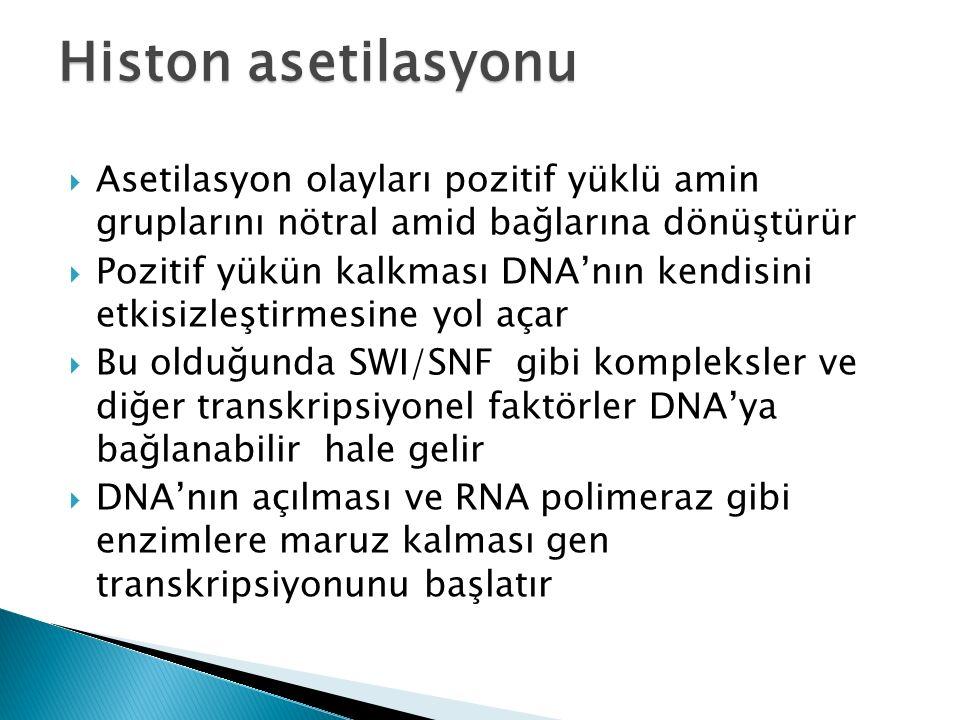  Asetilasyon olayları pozitif yüklü amin gruplarını nötral amid bağlarına dönüştürür  Pozitif yükün kalkması DNA'nın kendisini etkisizleştirmesine yol açar  Bu olduğunda SWI/SNF gibi kompleksler ve diğer transkripsiyonel faktörler DNA'ya bağlanabilir hale gelir  DNA'nın açılması ve RNA polimeraz gibi enzimlere maruz kalması gen transkripsiyonunu başlatır Histon asetilasyonu