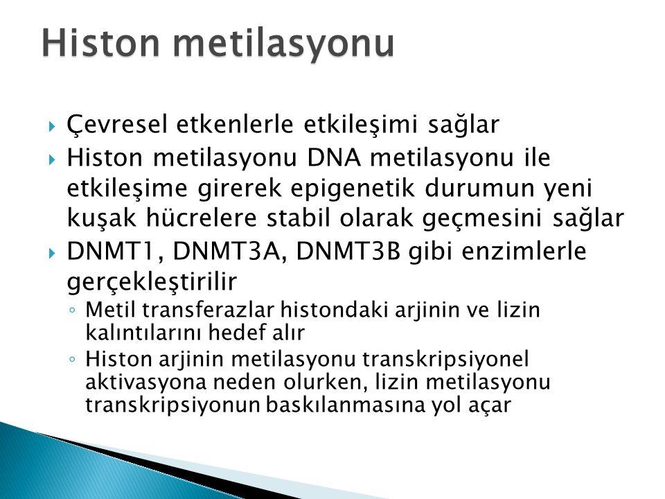  Çevresel etkenlerle etkileşimi sağlar  Histon metilasyonu DNA metilasyonu ile etkileşime girerek epigenetik durumun yeni kuşak hücrelere stabil olarak geçmesini sağlar  DNMT1, DNMT3A, DNMT3B gibi enzimlerle gerçekleştirilir ◦ Metil transferazlar histondaki arjinin ve lizin kalıntılarını hedef alır ◦ Histon arjinin metilasyonu transkripsiyonel aktivasyona neden olurken, lizin metilasyonu transkripsiyonun baskılanmasına yol açar Histon metilasyonu
