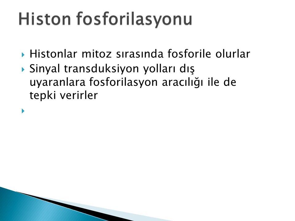 Histon fosforilasyonu  Histonlar mitoz sırasında fosforile olurlar  Sinyal transduksiyon yolları dış uyaranlara fosforilasyon aracılığı ile de tepki verirler 