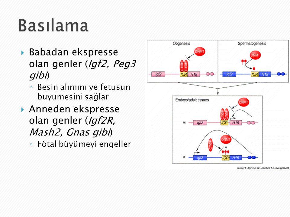  Babadan ekspresse olan genler (Igf2, Peg3 gibi) ◦ Besin alımını ve fetusun büyümesini sağlar  Anneden ekspresse olan genler (Igf2R, Mash2, Gnas gibi) ◦ Fötal büyümeyi engeller