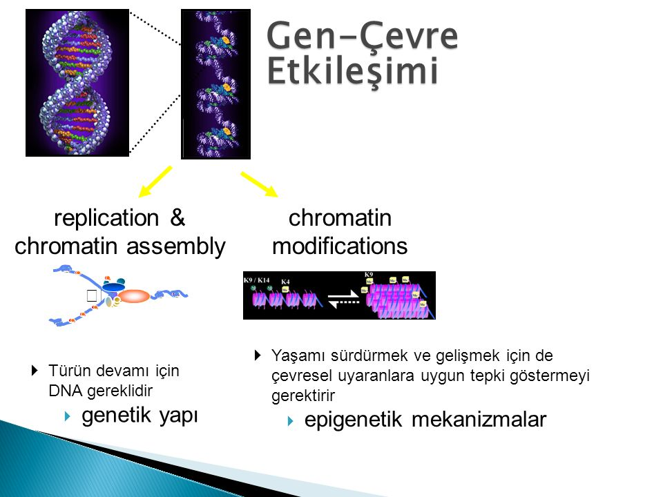 Gen-Çevre Etkileşimi replication & chromatin assembly chromatin modifications  Yaşamı sürdürmek ve gelişmek için de çevresel uyaranlara uygun tepki g