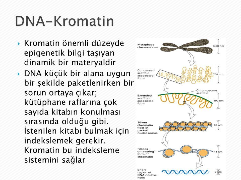  Kromatin önemli düzeyde epigenetik bilgi taşıyan dinamik bir materyaldir  DNA küçük bir alana uygun bir şekilde paketlenirken bir sorun ortaya çıkar; kütüphane raflarına çok sayıda kitabın konulması sırasında olduğu gibi.