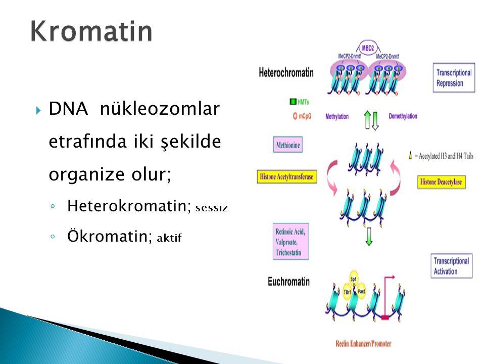 Kromatin  DNA nükleozomlar etrafında iki şekilde organize olur; ◦ Heterokromatin; sessiz ◦ Ökromatin; aktif