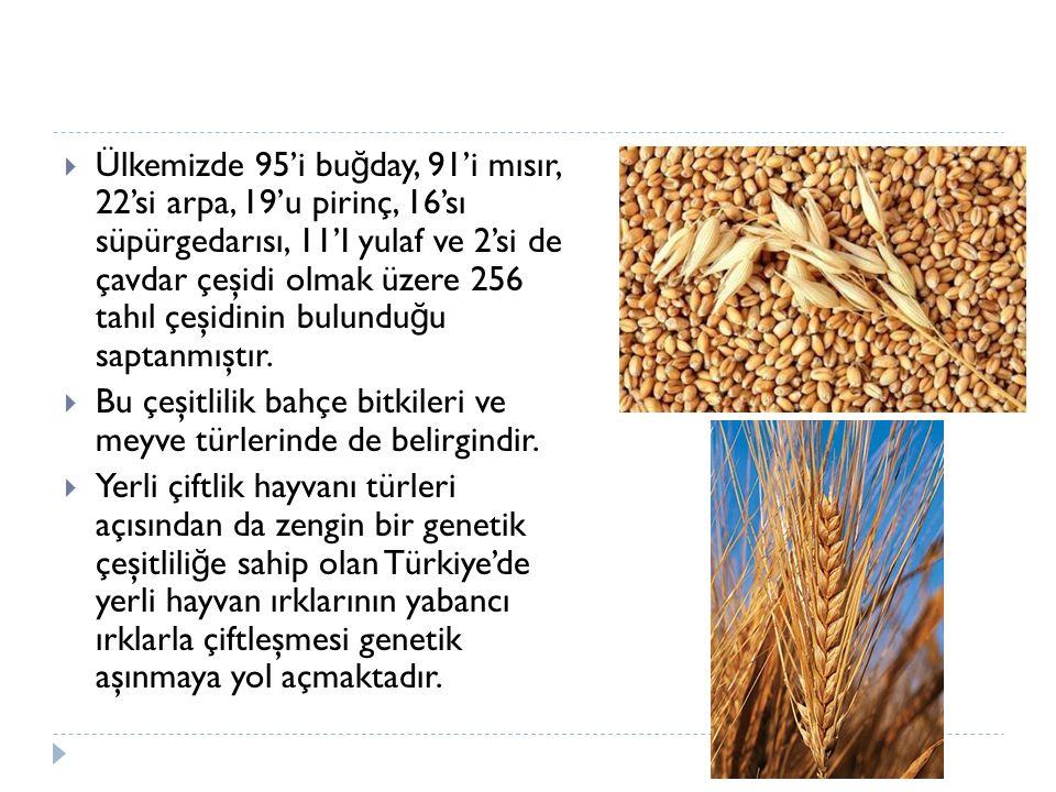  Ülkemizde 95'i bu ğ day, 91'i mısır, 22'si arpa, 19'u pirinç, 16'sı süpürgedarısı, 11'I yulaf ve 2'si de çavdar çeşidi olmak üzere 256 tahıl çeşidin