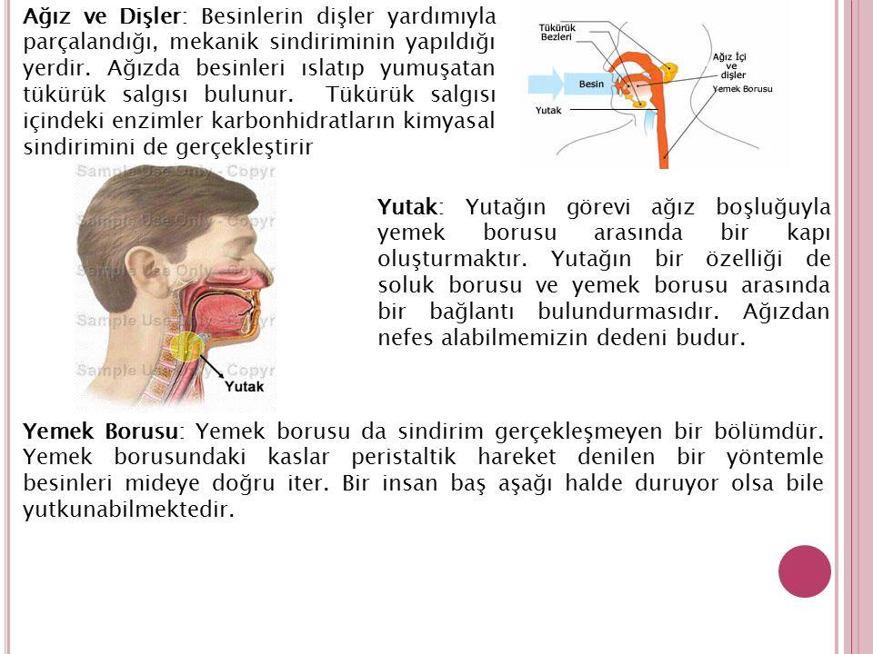 Ağız ve Dişler: Besinlerin dişler yardımıyla parçalandığı, mekanik sindiriminin yapıldığı yerdir. Ağızda besinleri ıslatıp yumuşatan tükürük salgısı b