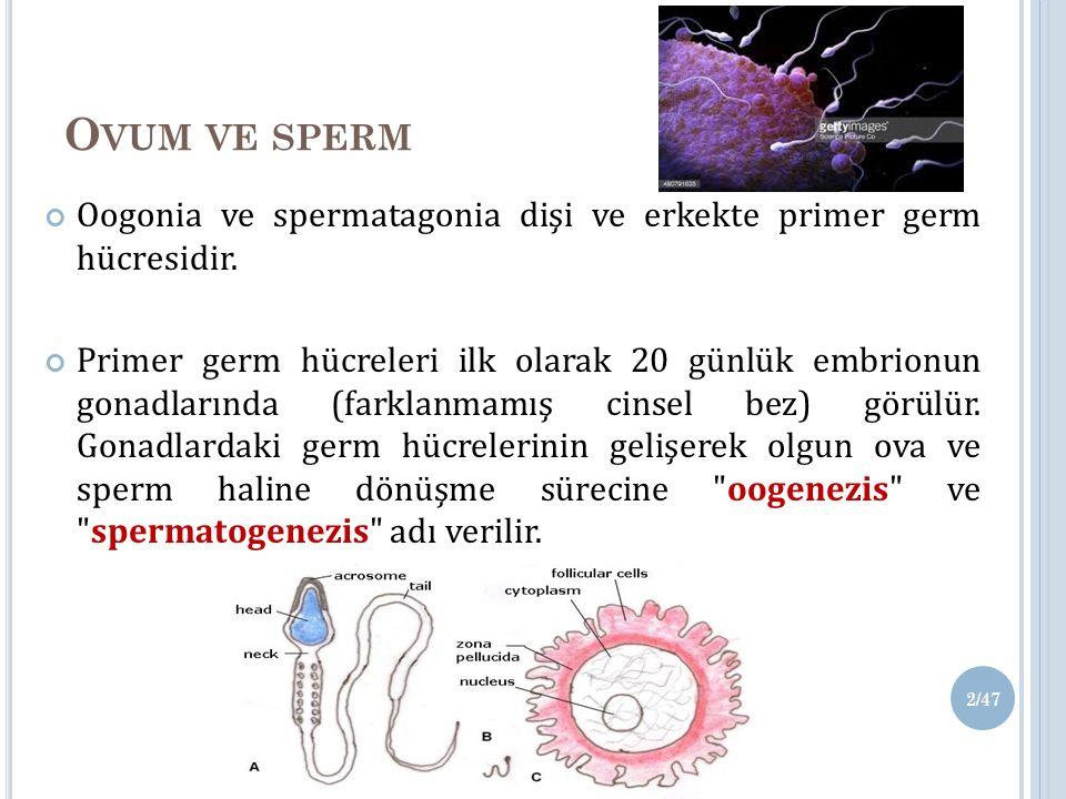 O VUM VE SPERM Oogonia ve spermatagonia dişi ve erkekte primer germ hücresidir.