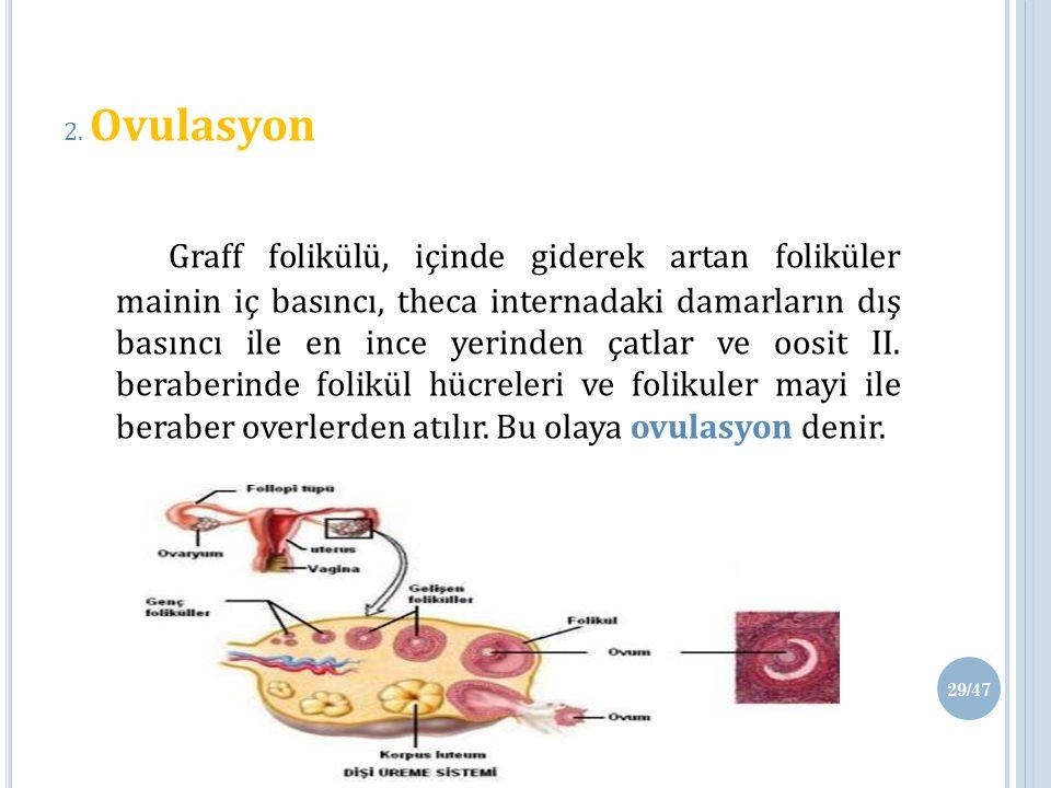 2. Ovulasyon Graff folikülü, içinde giderek artan foliküler mainin iç basıncı, theca internadaki damarların dış basıncı ile en ince yerinden çatlar ve