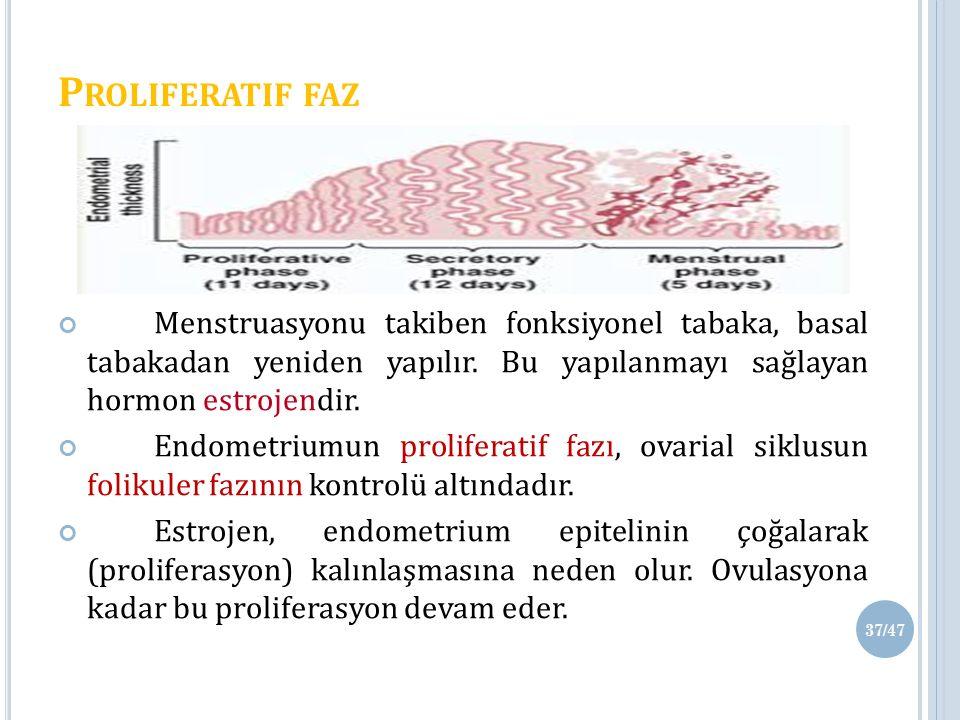 P ROLIFERATIF FAZ Menstruasyonu takiben fonksiyonel tabaka, basal tabakadan yeniden yapılır.