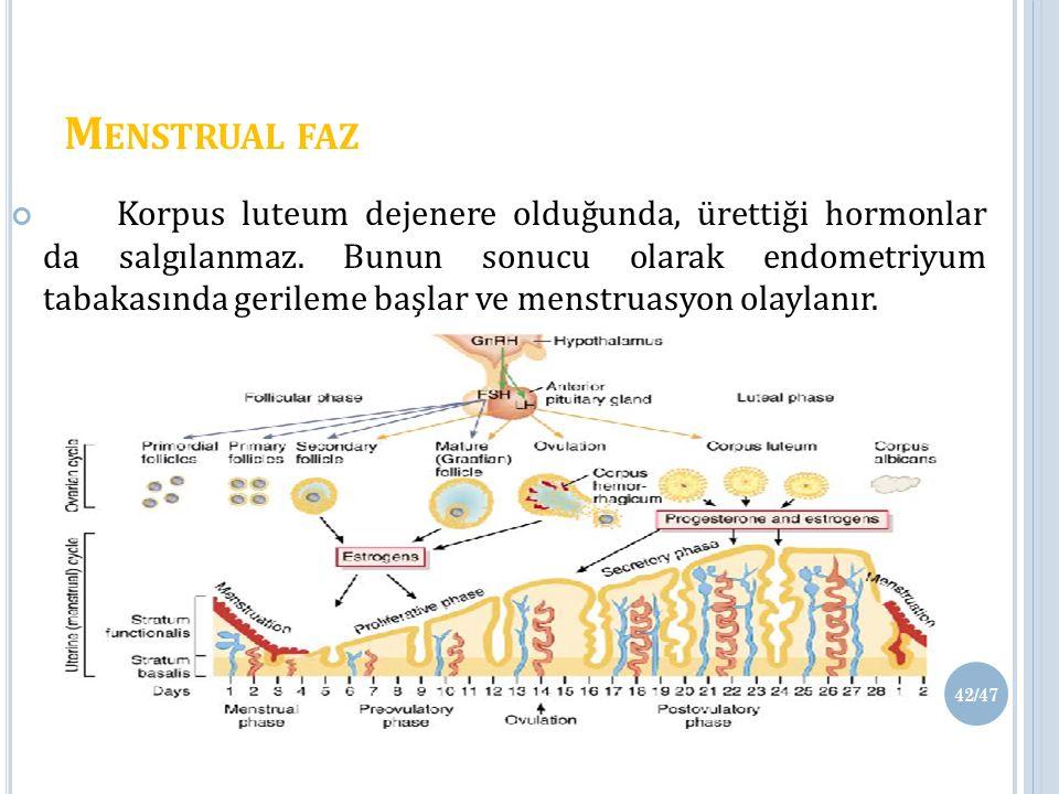 M ENSTRUAL FAZ Korpus luteum dejenere olduğunda, ürettiği hormonlar da salgılanmaz.