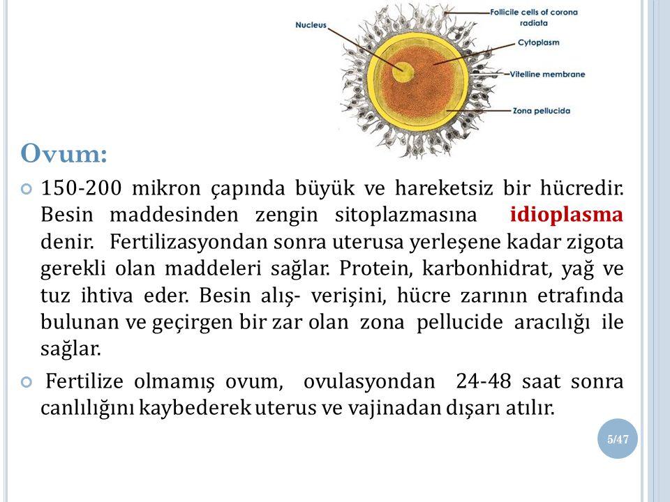 Ovum: 150-200 mikron çapında büyük ve hareketsiz bir hücredir.
