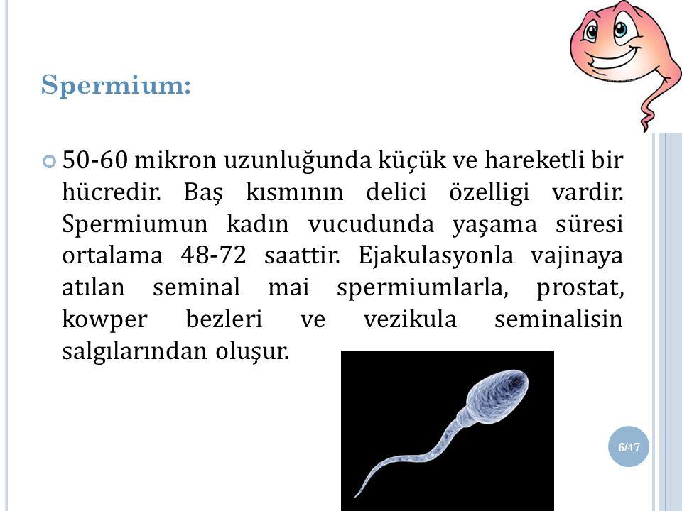 Spermium: 50-60 mikron uzunluğunda küçük ve hareketli bir hücredir.