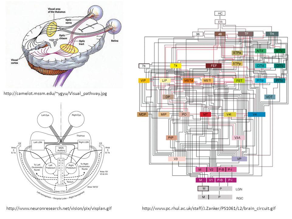 http://www.pc.rhul.ac.uk/staff/J.Zanker/PS1061/L2/brain_circuit.gif http://camelot.mssm.edu/~ygyu/Visual_pathway.jpg http://www.neuronresearch.net/vis