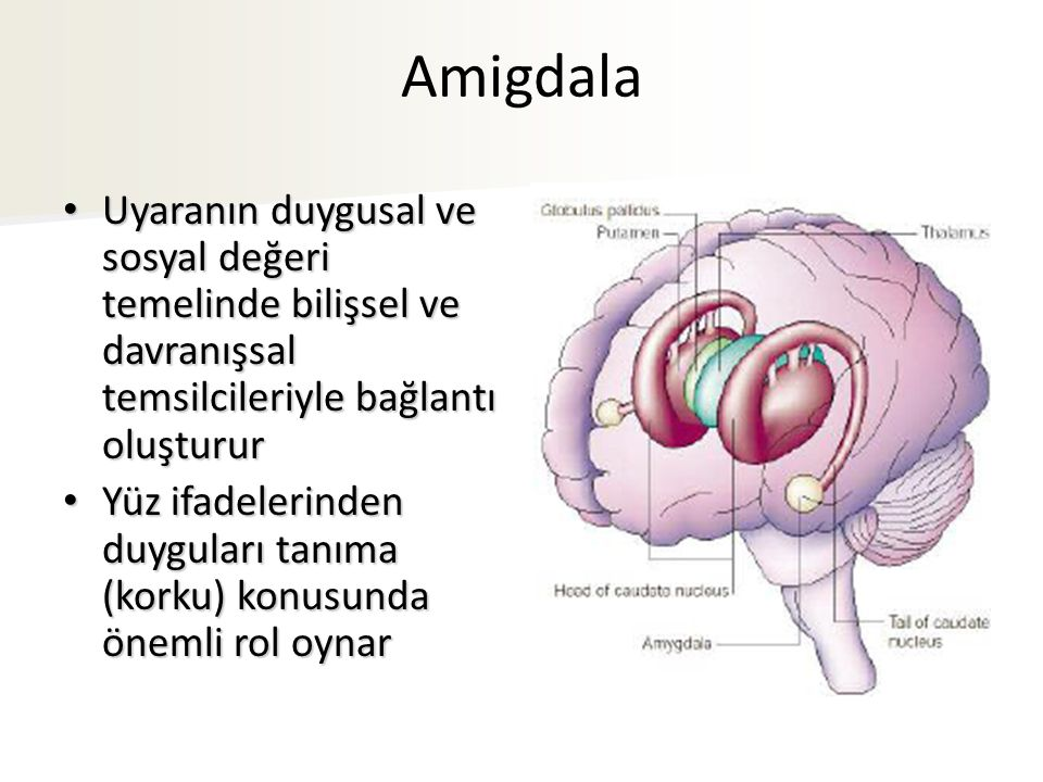 Amigdala Uyaranın duygusal ve sosyal değeri temelinde bilişsel ve davranışsal temsilcileriyle bağlantı oluşturur Uyaranın duygusal ve sosyal değeri temelinde bilişsel ve davranışsal temsilcileriyle bağlantı oluşturur Yüz ifadelerinden duyguları tanıma (korku) konusunda önemli rol oynar Yüz ifadelerinden duyguları tanıma (korku) konusunda önemli rol oynar
