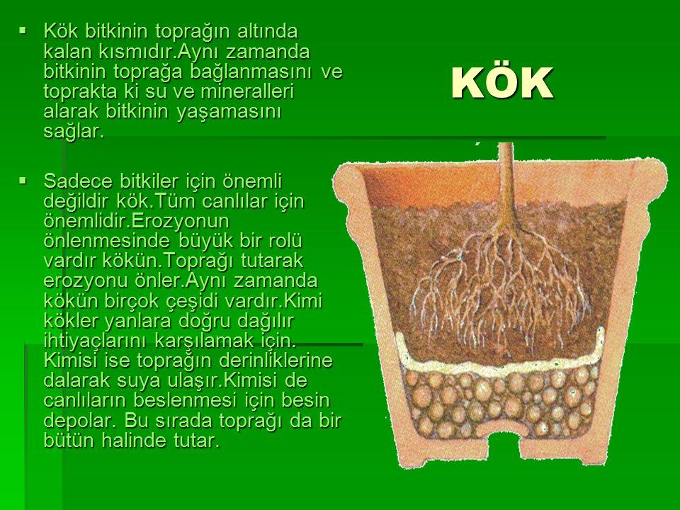 KÖK  Kök bitkinin toprağın altında kalan kısmıdır.Aynı zamanda bitkinin toprağa bağlanmasını ve toprakta ki su ve mineralleri alarak bitkinin yaşamasını sağlar.
