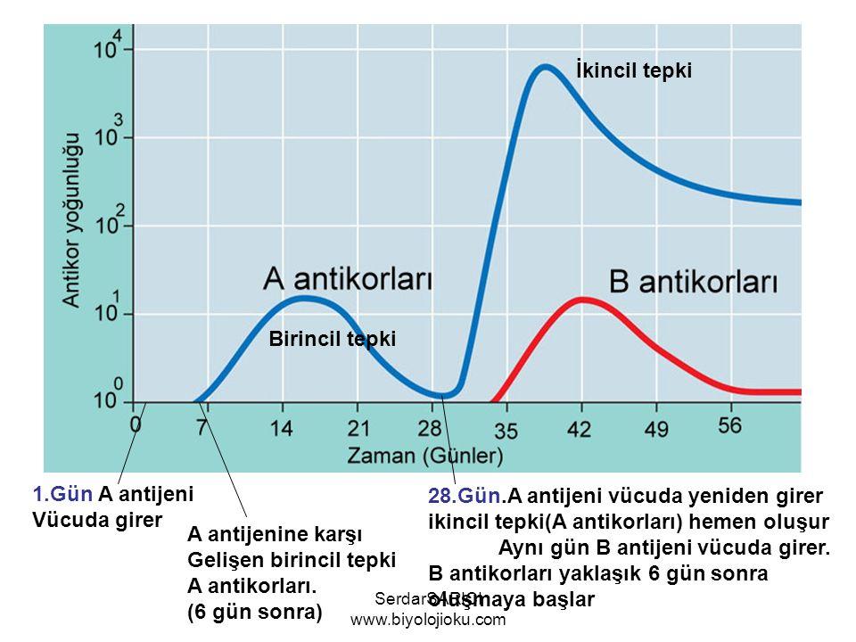 1.Gün A antijeni Vücuda girer A antijenine karşı Gelişen birincil tepki A antikorları. (6 gün sonra) 28.Gün.A antijeni vücuda yeniden girer ikincil te