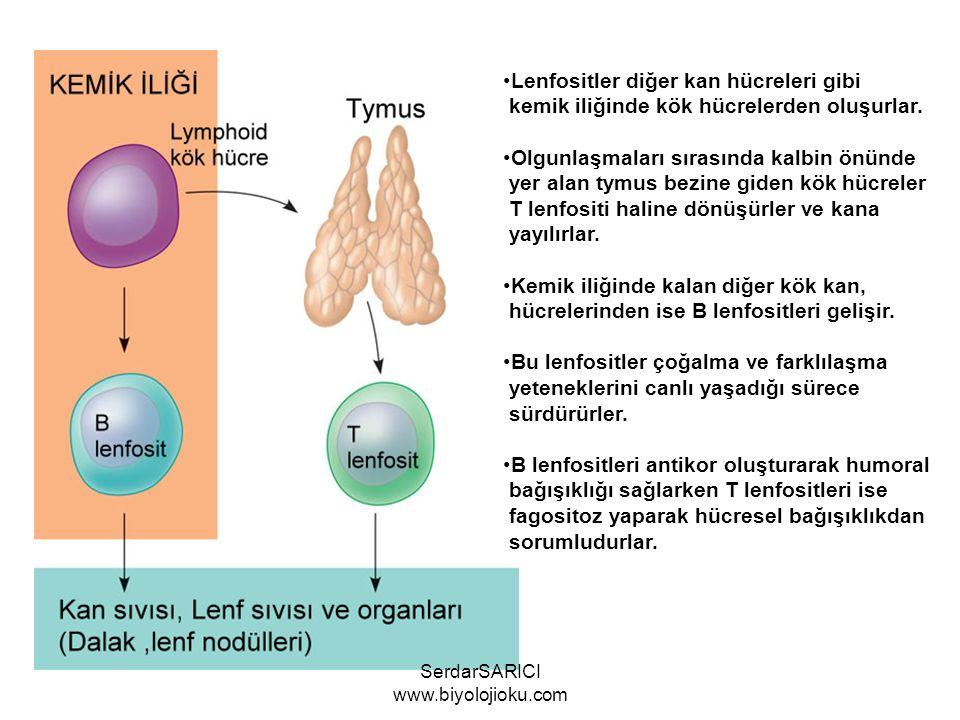 Lenfositler diğer kan hücreleri gibi kemik iliğinde kök hücrelerden oluşurlar.