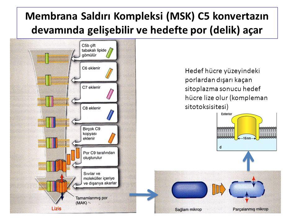 Membrana Saldırı Kompleksi (MSK) C5 konvertazın devamında gelişebilir ve hedefte por (delik) açar Hedef hücre yüzeyindeki porlardan dışarı kaçan sitoplazma sonucu hedef hücre lize olur (kompleman sitotoksisitesi)
