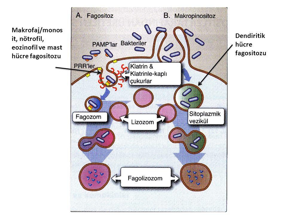 Makrofaj/monos it, nötrofil, eozinofil ve mast hücre fagositozu Dendiritik hücre fagositozu
