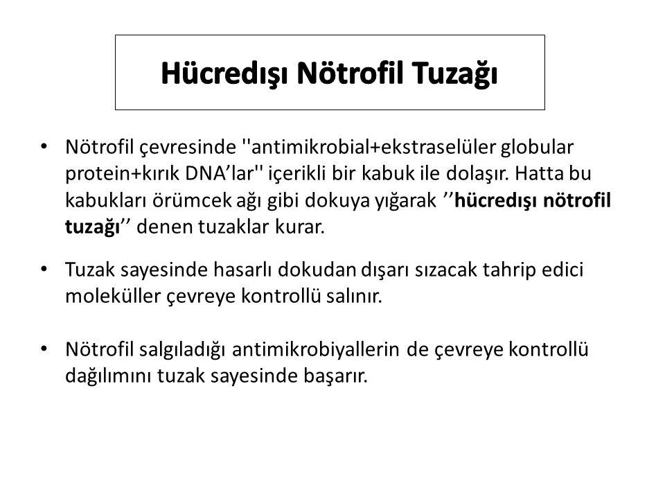 Nötrofil çevresinde antimikrobial+ekstraselüler globular protein+kırık DNA'lar içerikli bir kabuk ile dolaşır.