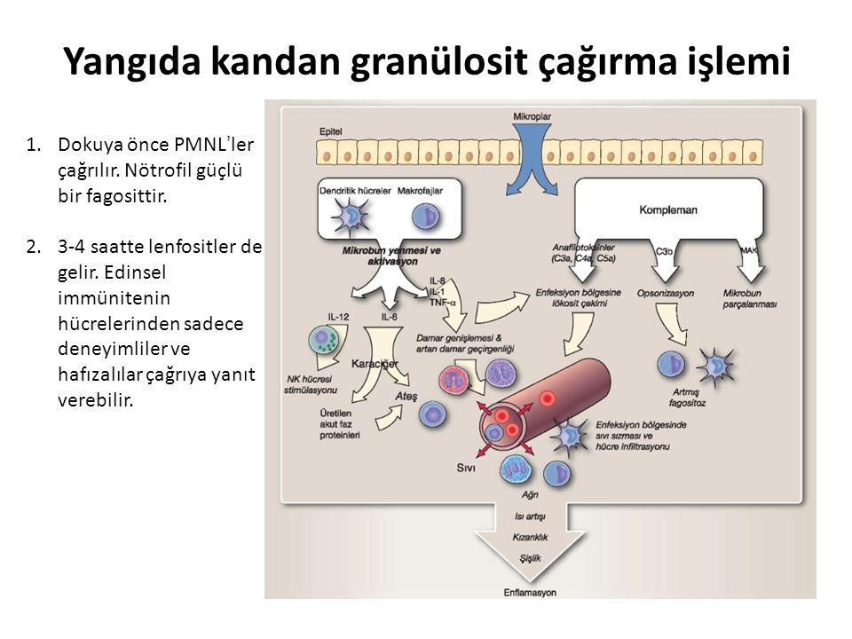 1.Dokuya önce PMNL'ler çağrılır. Nötrofil güçlü bir fagosittir.