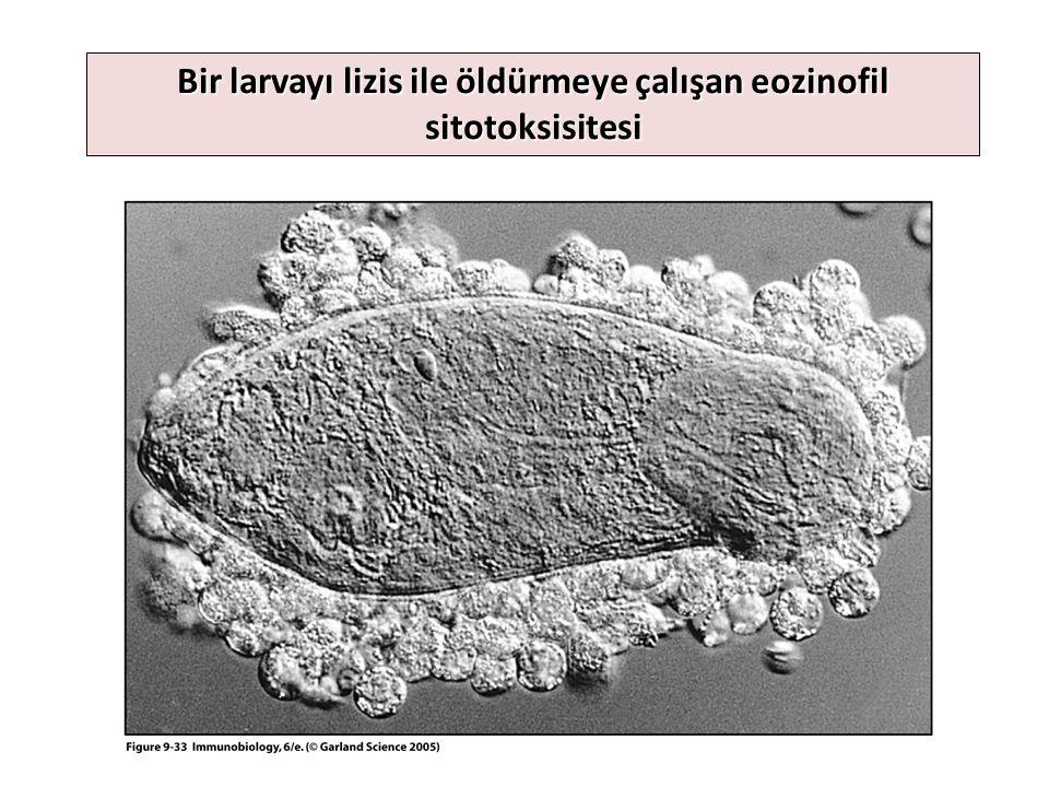 Yangı süresince (4-96 saat) kandan çağrılan dört lökosit, yüzeyel PRR veya opsoninle tehlikeyi tanıyan sıvısal tahrip sistemlerini oluşturur – Kandan dokuya gelen nötrofil: Tuzak, fagositoz – Kandan dokuya gelen monosit: Fagositoz – Kandan dokuya gelen eozinofil: Fagositoz ve helminte sitotoksisite – Kandan gelen bazofil: Yangı, antimikrobiyal Bu lökositler normal durumda venlerde depolanmıştır, enfeksiyon durumunda kana geçerek lökositoza neden olurlar