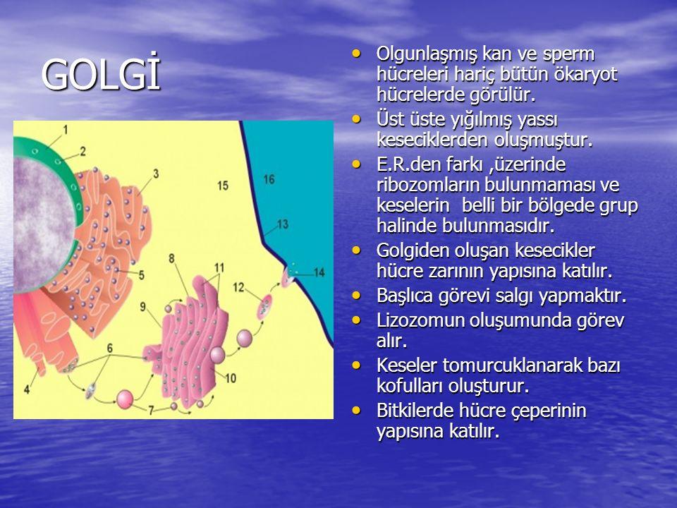 GOLGİ Olgunlaşmış kan ve sperm hücreleri hariç bütün ökaryot hücrelerde görülür. Olgunlaşmış kan ve sperm hücreleri hariç bütün ökaryot hücrelerde gör