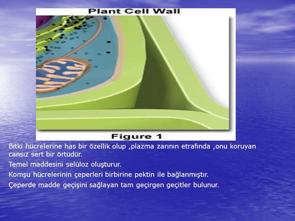 Bitki hücrelerine has bir özellik olup,plazma zarının etrafında,onu koruyan cansız sert bir örtüdür. Temel maddesini selüloz oluşturur. Komşu hücreler
