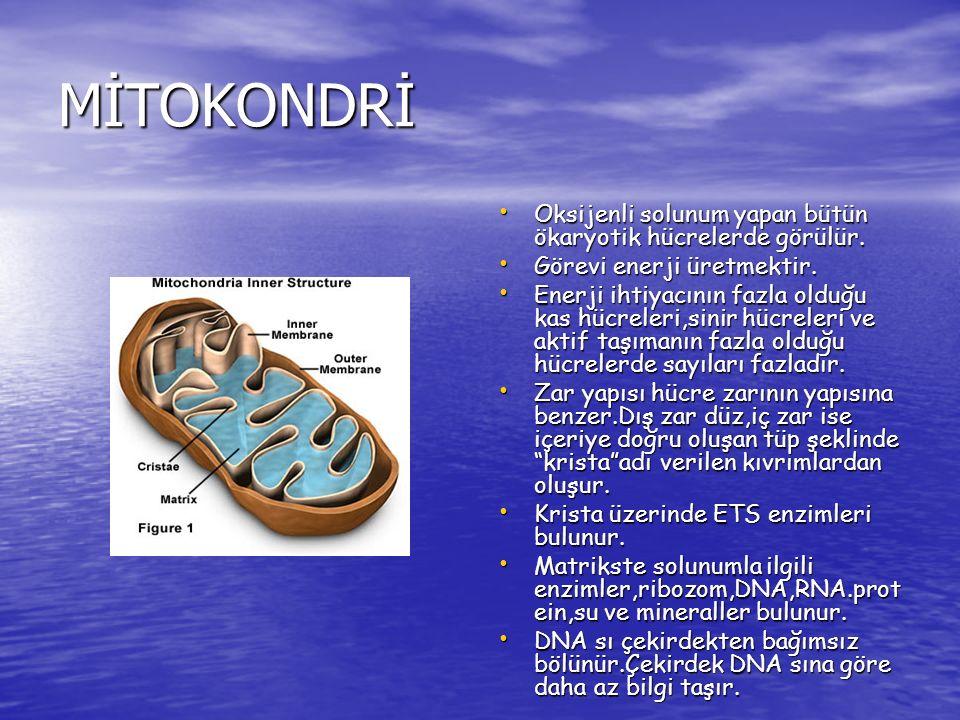 MİTOKONDRİ Oksijenli solunum yapan bütün ökaryotik hücrelerde görülür. Oksijenli solunum yapan bütün ökaryotik hücrelerde görülür. Görevi enerji üretm