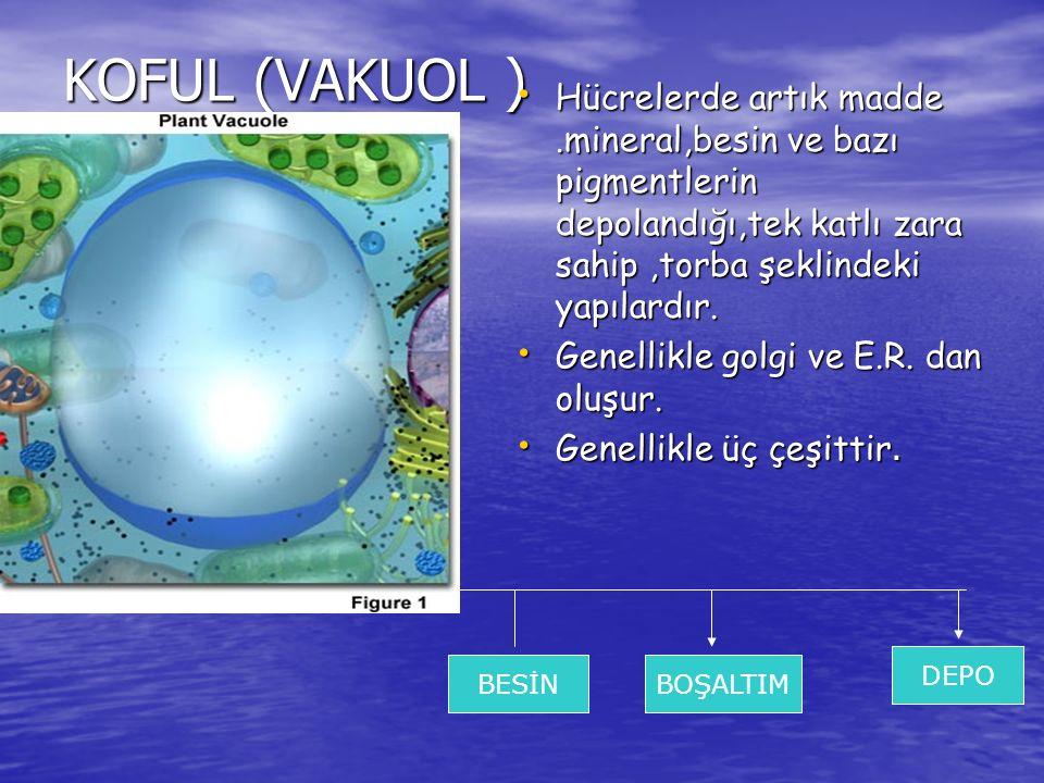 KOFUL (VAKUOL ) Hücrelerde artık madde.mineral,besin ve bazı pigmentlerin depolandığı,tek katlı zara sahip,torba şeklindeki yapılardır. Hücrelerde art