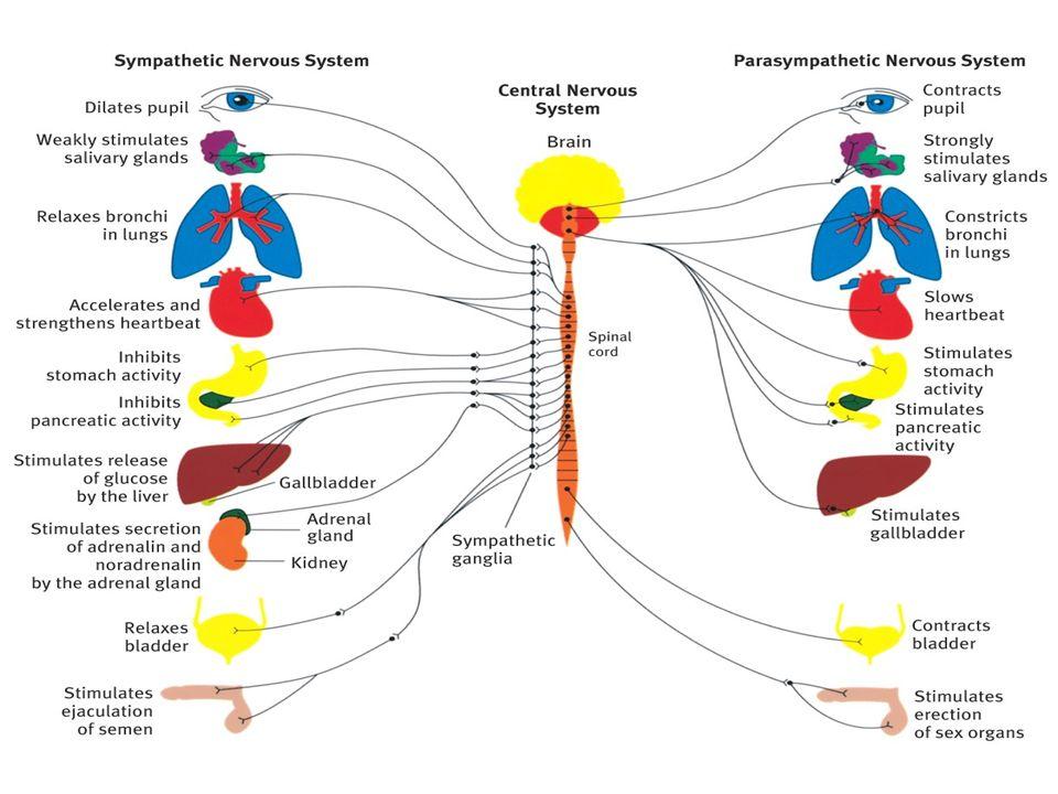 Sempatik sinir sistemi Savaş/kaç tepkisi Postgangliyonik fibrillerden NE, adrenal medulladan epinefrin salınımı Yoğun fiziksel aktivite için hazırlanma – Kalp hızı artışı – Bronşiollerin dilatasyonu – Kan glikozu artışı