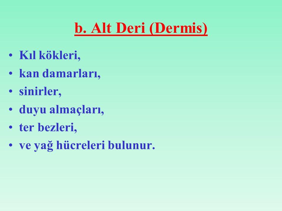 b. Alt Deri (Dermis) Kıl kökleri, kan damarları, sinirler, duyu almaçları, ter bezleri, ve yağ hücreleri bulunur.