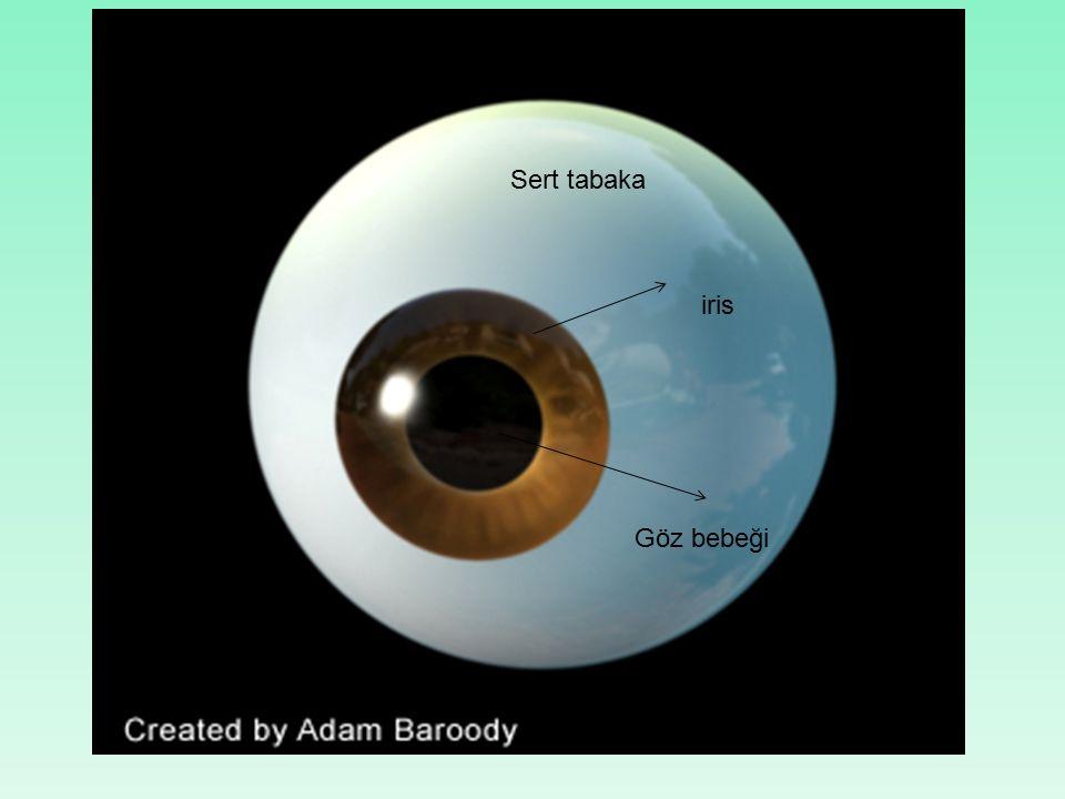 Sert tabaka iris Göz bebeği