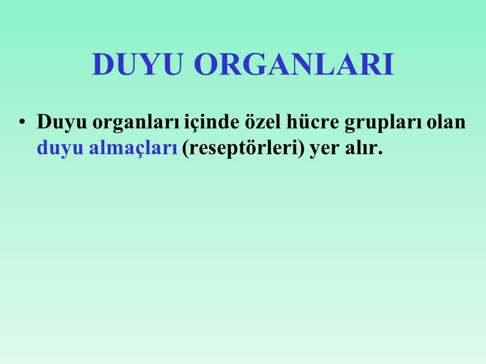 DUYU ORGANLARI Duyu organları içinde özel hücre grupları olan duyu almaçları (reseptörleri) yer alır.