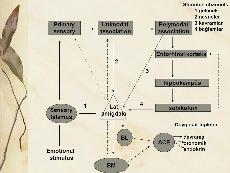 Primary sensory Unimodal association Polymodal association Entorhinal korteks hippokampüs subikulum Sensory talamus BL BM ACE Lat. amigdala 1 4 3 2 Em