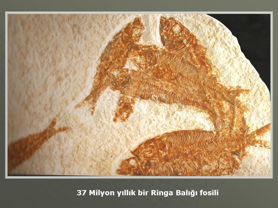 37 Milyon yıllık bir Ringa Balığı fosili