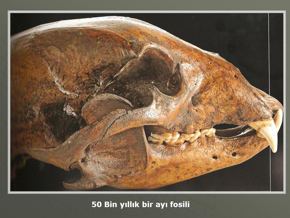 50 Bin yıllık bir ayı fosili