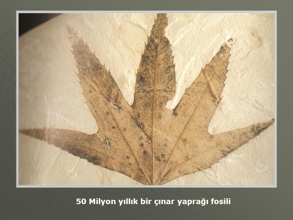 50 Milyon yıllık bir çınar yaprağı fosili