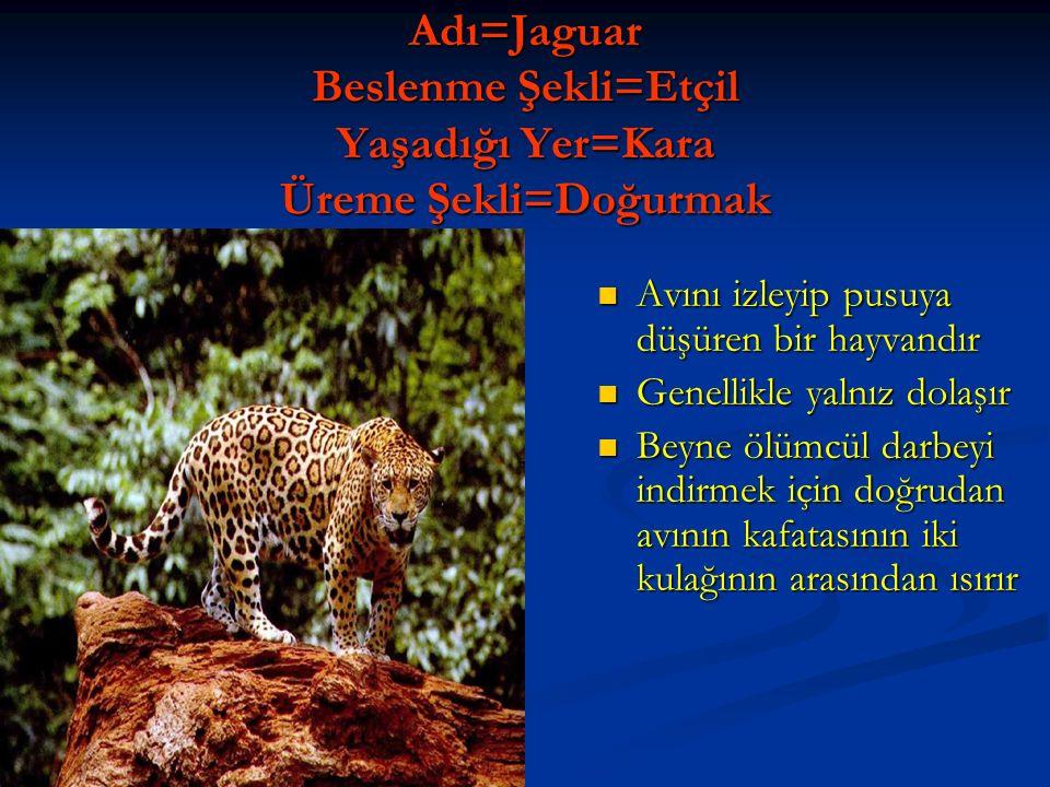 Adı=Leopar Beslenme Şekli=Etçil Yaşadığı Yer=Kara Üreme Şekli=Doğurmak Pars olarak bilinir Ağırlığı 48 kilo olabilir Büyük kediler arasında en iyi ağaca tırmanan türdür Dişiler erkeklerden %20,%40 daha büyük olabilir