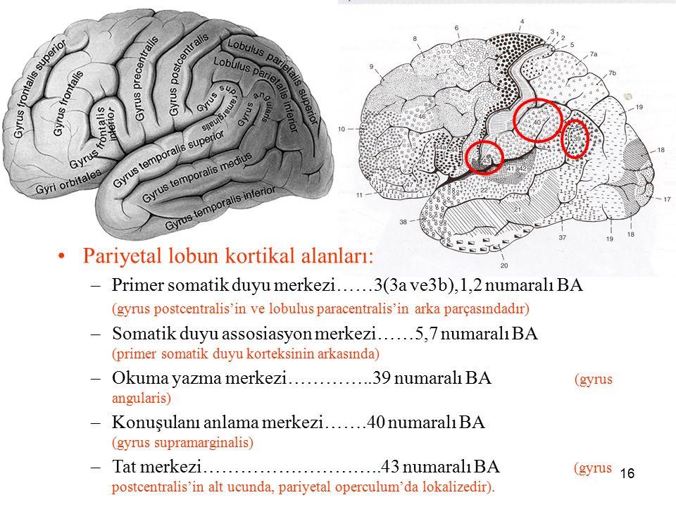 16 a Pariyetal lobun kortikal alanları: –Primer somatik duyu merkezi……3(3a ve3b),1,2 numaralı BA (gyrus postcentralis'in ve lobulus paracentralis'in a